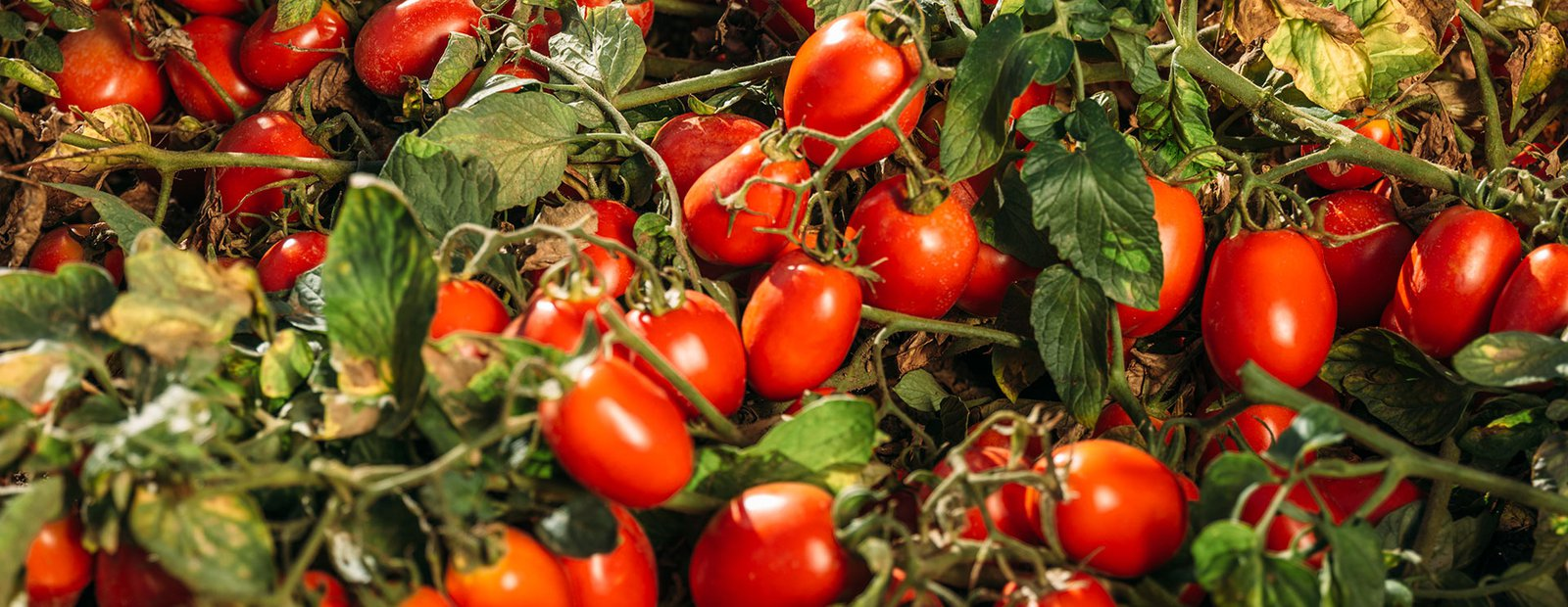 An endless love story between Italy and the tomato